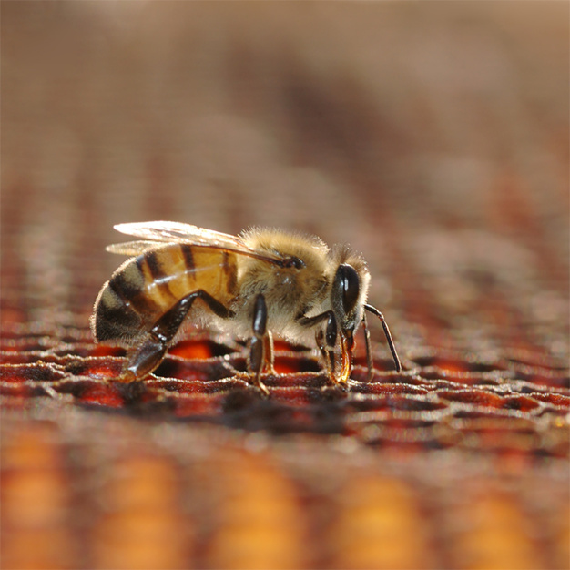 honey bee working on a cell