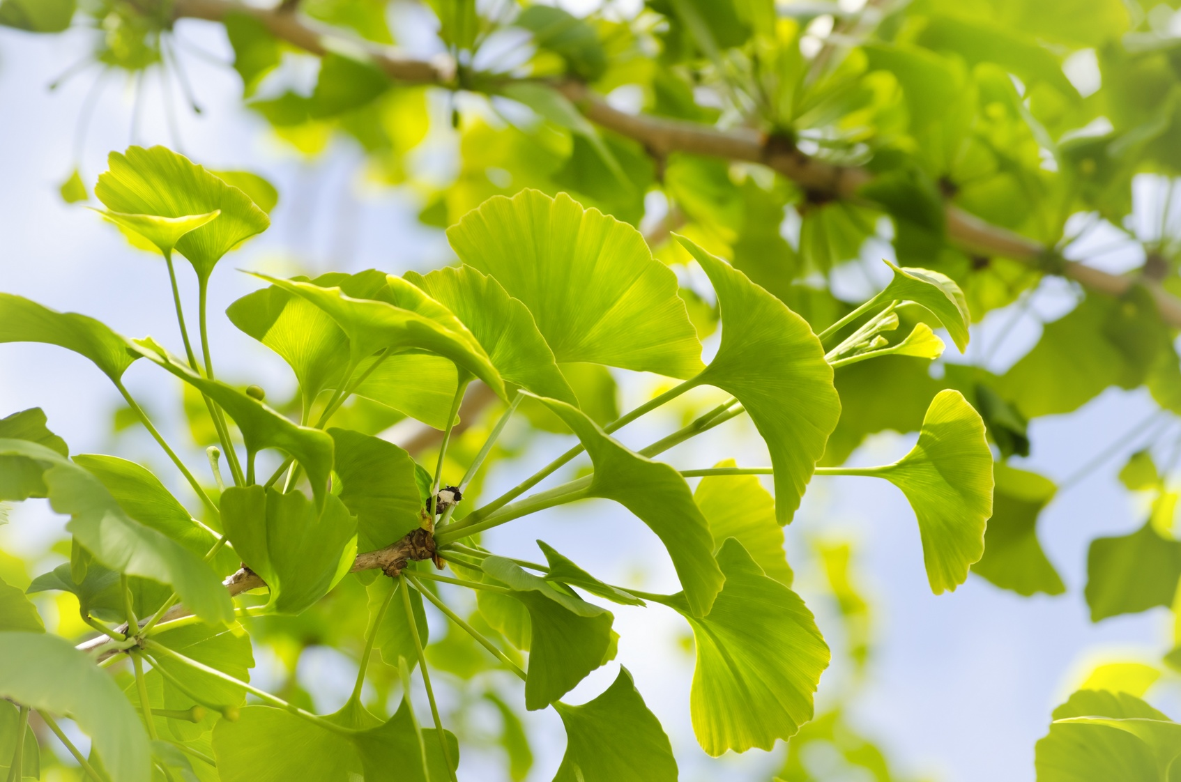 Photo of Ginkgo Biloba Tree Leaves Over Blue Sky
